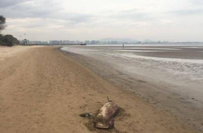 浅水湾沙滩出现一头死去的海江豚