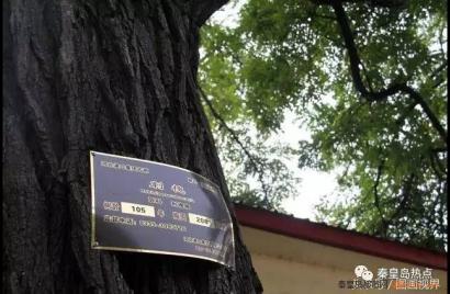 秦皇岛最牛的小巷 路旁尽是百年古槐 与海零距离
